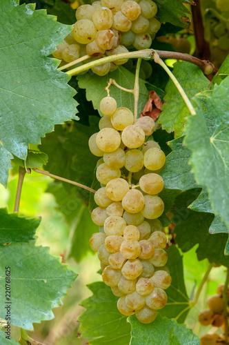Grappolo di uva malvasia bianca odorossissima di Parma Canvas Print