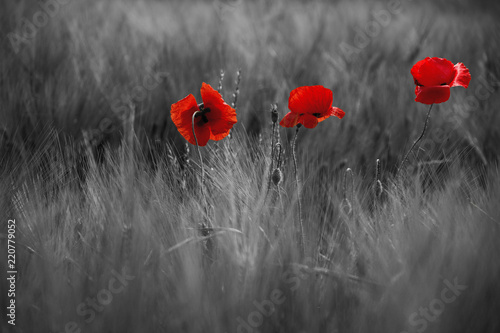 Guts beautiful poppies on black and white background - 220779052