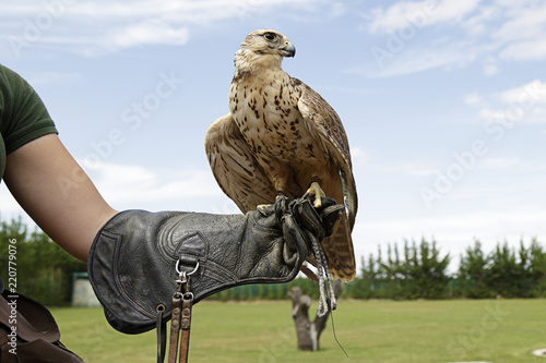Photo  Falconer showing a falcon saker (Falco cherrug)