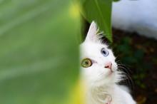 Primer Plano De Un Gato Blanco Con Un Ojo De Cada Color Mirando Hacia Arriba A La Derecha Con Una Hoja Verde En El Lado Izquierdo