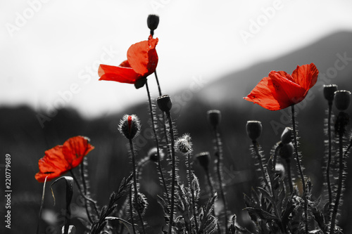 Guts beautiful poppies on black and white background - 220779689