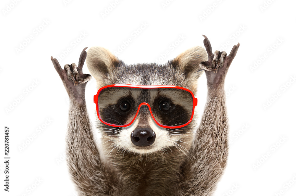 Portrait of a funny raccoon in sunglasses, showing a rock gesture, isolated on white background