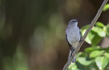 The Northern Mockingbird (Mimu...