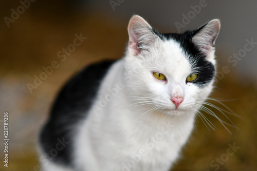 Cat Animal Kitten Pet White Cute Feline Domestic Fur Kitty Eyes Portrait Pets Nature Eye Beautiful Black Animals Mammal Face Green Young Isolated Fluffy Adorable Buy This Stock Photo And Explore