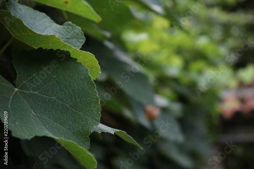 Valokuva  Foglie di vite da uva