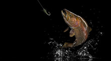 Brown Rainbow Trout Fish And F...