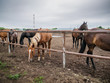 Group of beautiful young horses on pasture in animal farm or ranch, rural livestock or farmland