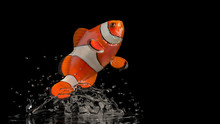 Gorgeous Clown Fish Raised Above Water Surface Black Background
