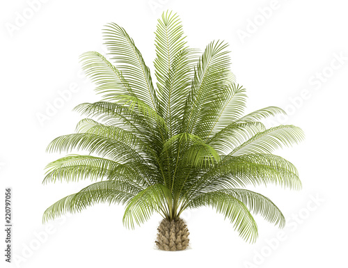 oil palm tree isolated on white background
