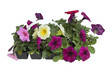 Petunias isolated on a white background with clipping path