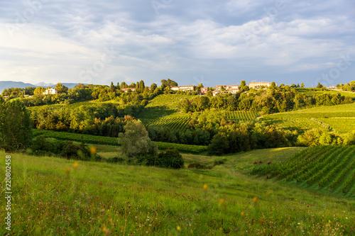 Fotografie, Obraz  Grapes growing in vinyards near Conegliano