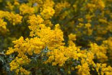 Acacia Howittii Flowers
