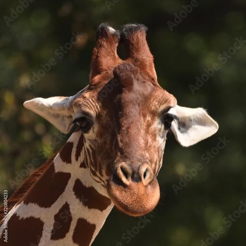Papiers peints Paris Reticulated giraffe (Giraffa camelopardalis reticulata)