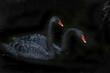 canvas print picture - Trauerschwan (Cygnus atratus) oder Schwarzschwan
