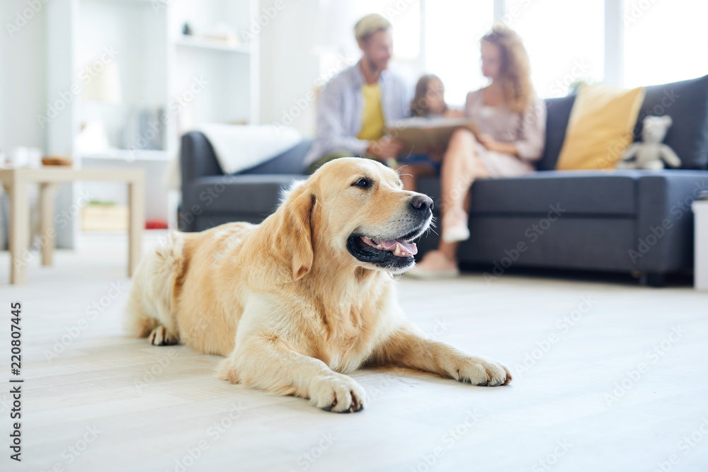 Fototapety, obrazy: Restful home pet lying on the floor of living-room on background of family relaxing on sofa