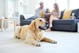 Fototapeta Animals - Restful home pet lying on the floor of living-room on background of family relaxing on sofa