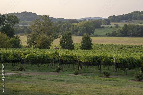 Fotobehang Wijngaard Vineyards in the Summer
