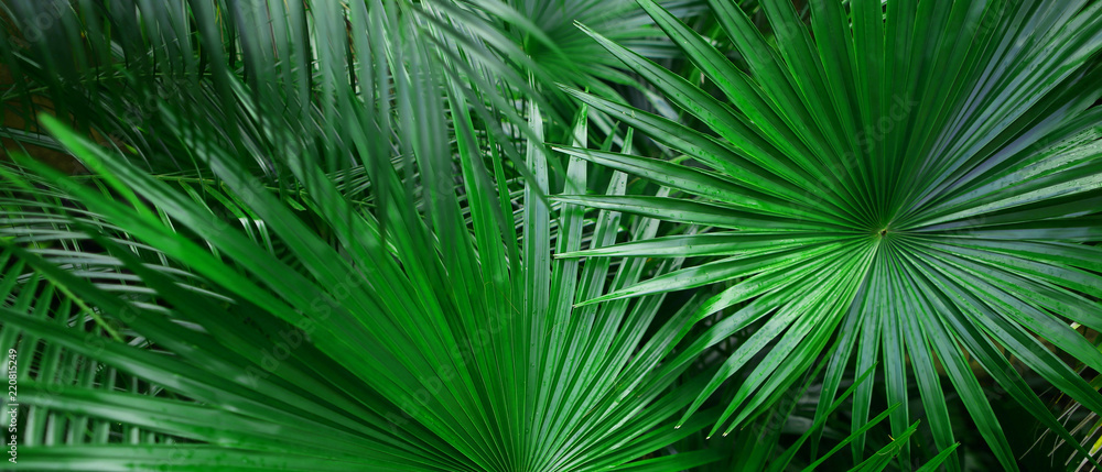 Fototapety, obrazy: Banner of tropical leaves for background. Concept of summer and travel agency, jungle theme and blog heading.