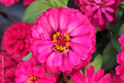 Poster Rose Beautiful pink zinnia flower in garden for background