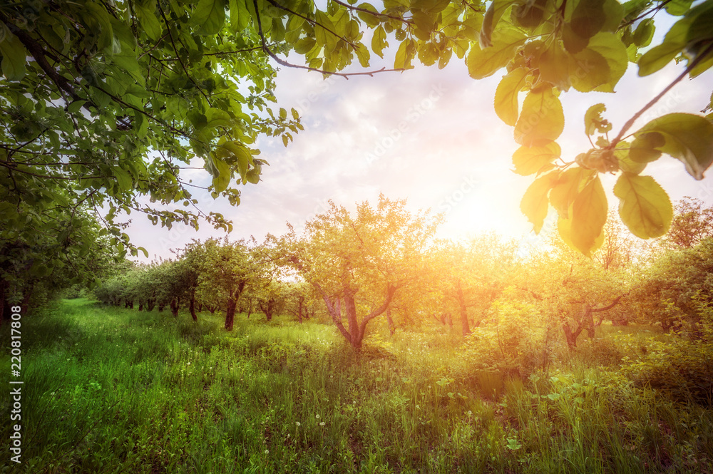 apple garden  at sunset (or sunrise). natiral summer (spring) background