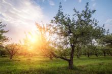 Apple Garden  At Sunset (or Sunrise). Natural Summer (spring) Background