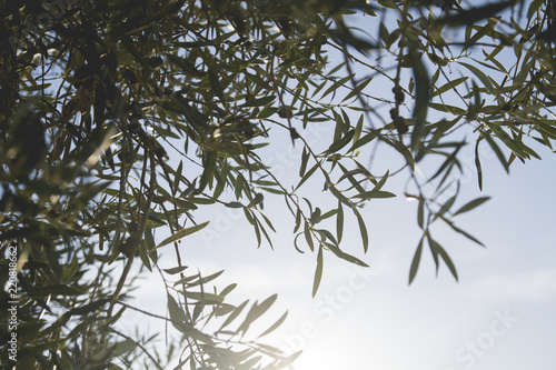 olive tree leaves pattern background