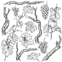 Hand Drawn Grape Branches And ...
