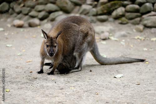 Foto op Canvas Kangoeroe Full body of of adult female kangaroo (Macropod)