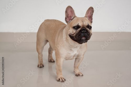 Cream-colored french bulldog puppy is standing on tiled floor. Pet animals.