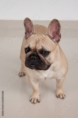 Deurstickers Franse bulldog Cute cream-colored french bulldog puppy is standing on tiled floor. Pet animals.