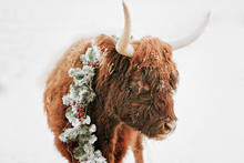 Portrait Of A Highland Cow In The Snow Wearing A Christmas Wreath, British Columbia, Canada