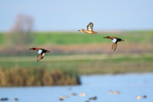 Flying Wild Ducks Above Wetland Landscape