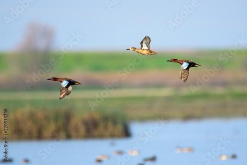 Fotografía Flying wild ducks above wetland landscape