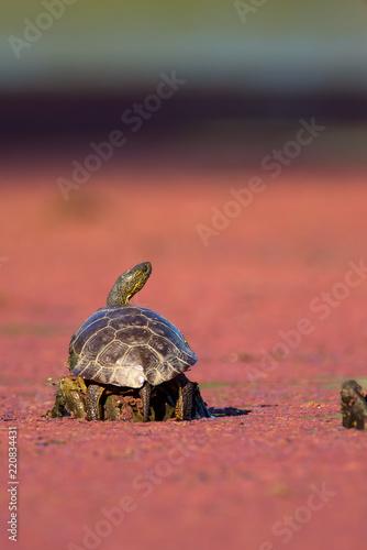 Fotografie, Obraz  Tortoise on log in swamp water