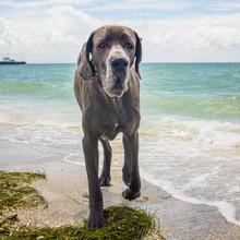 Great Dane Walking On Beach, United States