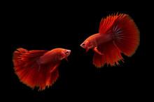 Two Betta Fish, Indonesia