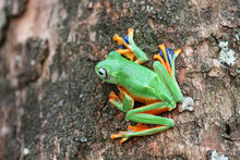 Wallace's Flying Frog On A Tree, Indonesia