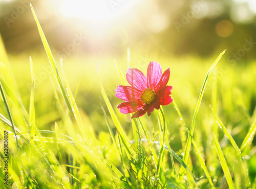 Spoed Foto op Canvas Natuur beautiful background with bright green grass in dew and red flower in the warm yellow sun