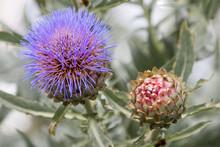 Artischocke (Cynara Cardunculus /- Scolymus) Artischocken Blüte
