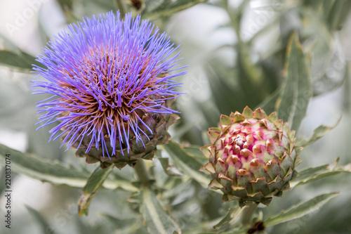 Slika na platnu Artischocke (Cynara cardunculus /- Scolymus) Artischocken Blüte
