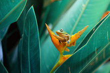 Flying Frog On A Flower, Indon...