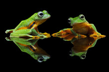 Portrait Of Two Flying Frogs, Indonesia