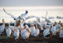 A Squadron Of Pelicans By Lake Nakuru, Lake Nakuru National Park, Kenya