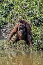 Female Orangutan By A Riverban...