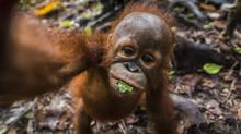 Portrait Of An Orangutan Infan...