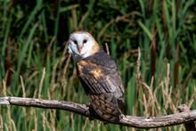 Barn Owl Sitting On A Branch, Canada