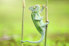 Portrait Of A Chameleon On A Bamboo, Indonesia