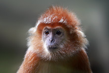Portrait Of A Silvered Lutung, Malaysia, Indonesia