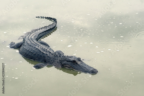 A sad Mississippian alligator in a drying pond. Drought in Brazoria National Wildlife Refuge, Texas, USA