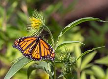 Monarch Butterfly On Yellow Flower At Albuquerque Botanical Garden, Albuquerque, New Mexico